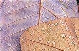 Waterdrops on Magnolia Journal Art Print