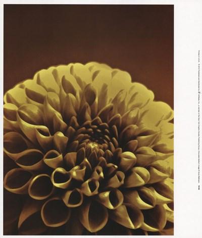 Chocolate Dahlia II Art Print by Wellmann