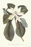 Magnolia Folis Oblongis Art Print