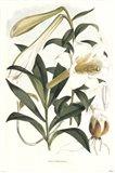 Lilium Neilgherriense Art Print