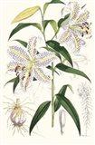 Lilium Auratum Art Print