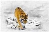 The King Tiger Art Print