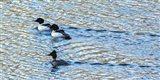 Alaskan Ducks Art Print