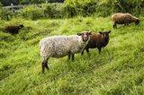 Peeping Sheep Art Print