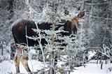 Young Bull Moose Art Print