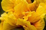 Hibiscus Folds Art Print