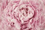 Peony Flower Centre Art Print