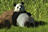 Reclining Panda Art Print