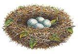 Cardinal Nest Art Print