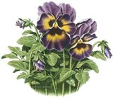 Lavender Faces Art Print