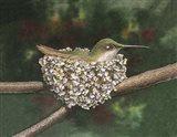 Hummer a Nesting Art Print