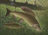 Grayling Fish Art Print