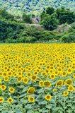 Sunflower Field 01 Art Print