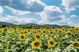 Sunflower Field Against Sky 02 Art Print