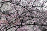 Cherry Blossom in Japanese Garden Art Print