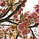 Pink Blossom I Art Print