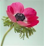 Pink Anemone Art Print
