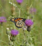 Orange Butterfly On Purple Bloom Art Print