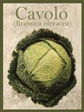 Brassica Oleracea Art Print