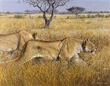 Hunting Lions Art Print