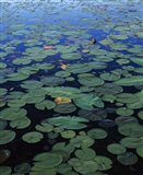 Lily Pad and Spatterdock Art Print