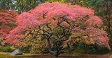 Japanese Maple Tree 1 Art Print