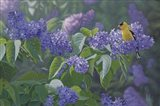 Hint of Gold - Goldfinch and Lilacs Art Print