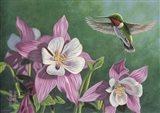 Hummingbird Pink - Columbine Art Print