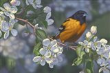 Oriole and Apple Blossoms Art Print