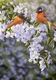 Orioles in the Orchard Art Print