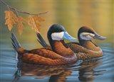 Stiff Tails Ruddy Ducks Art Print