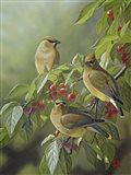Three's Company - Cedar Waxwings Art Print