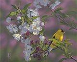 Gold Pink White Goldfinch Art Print