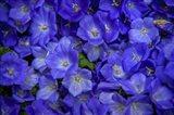 Blue Bells Carpet at Amsterdam Floral Market Art Print