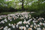 Keukenhof Botanical Daffodils Garden Art Print