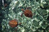 Sea Turtles in Crystal Water Art Print