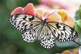 Paper Kite Tropical Butterfly 1 Art Print