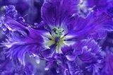Purple Mysterious Parrot Tulip Art Print
