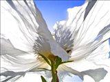 White Poppy In The Sun Art Print