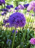 Allium Everywhere Art Print