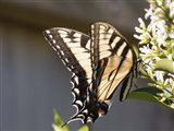 Eastern Tiger Swallowtail  Butterfly Feeding Art Print