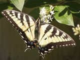 Eastern Tiger Swallowtail  Butterfly Wingspan Art Print
