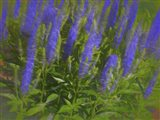 Meadow Sage Standing Tall Art Print