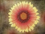 Single Indian Blanket Flower Art Print