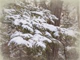 Snowy Pine Boughs Art Print