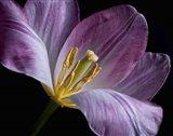 Peekaboo Tulip Art Print