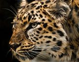 Amur Leopard Copy Art Print