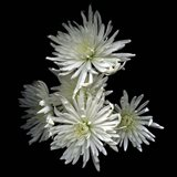 Corsage - Chrysanthemums Art Print