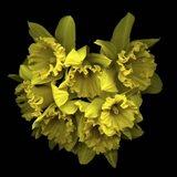 Explosion In Yellow - Daffodils Art Print