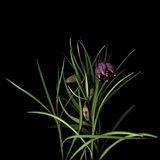 Fritillaria Art Print